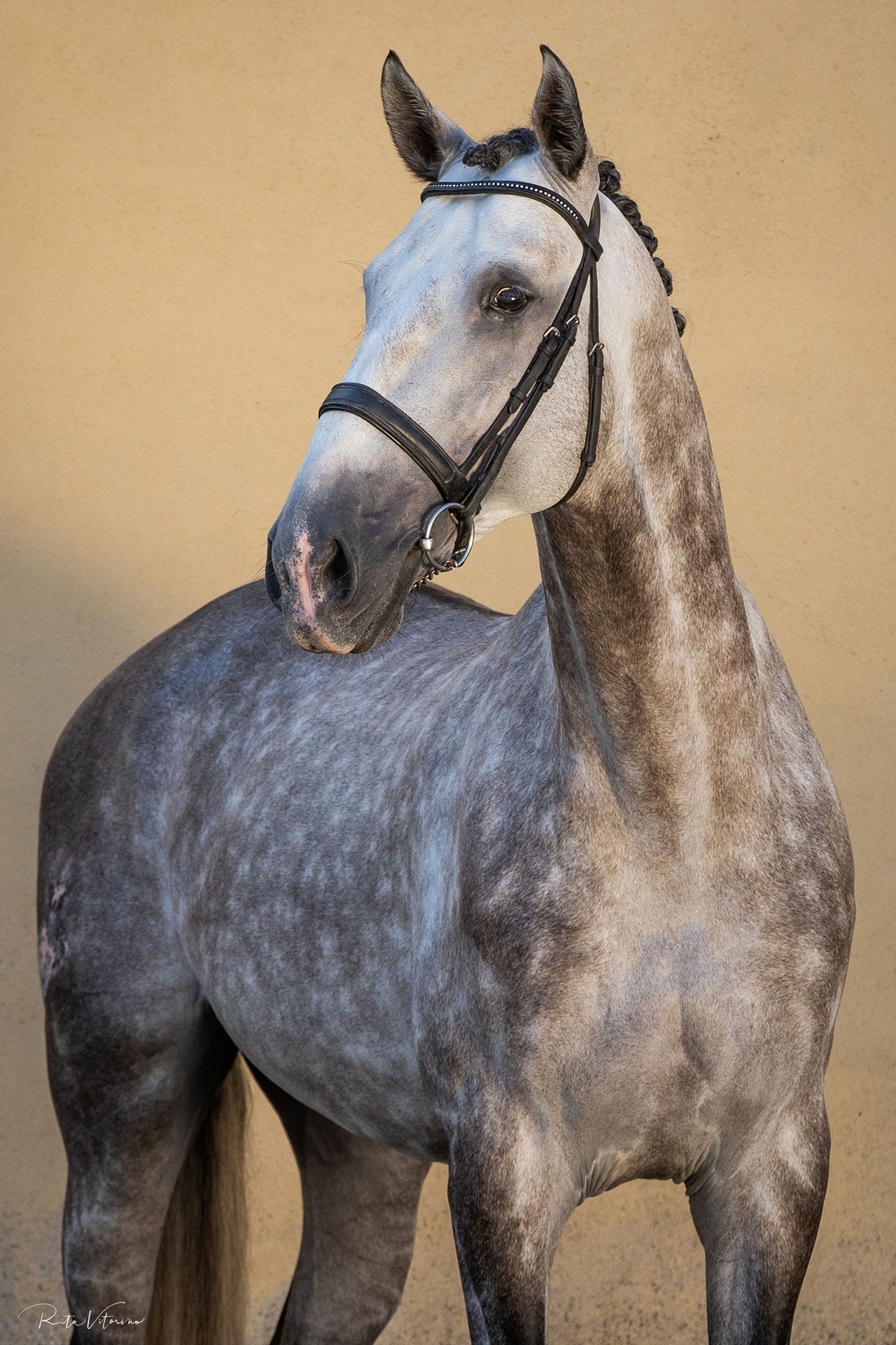 Young Lusitano stallion with top canter
