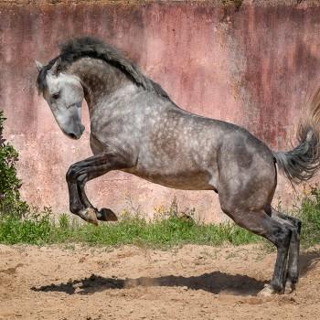 Lagoalva: Horses - 409 - Liberal