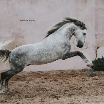 Lagoalva: Horses - 410 - Leopardo