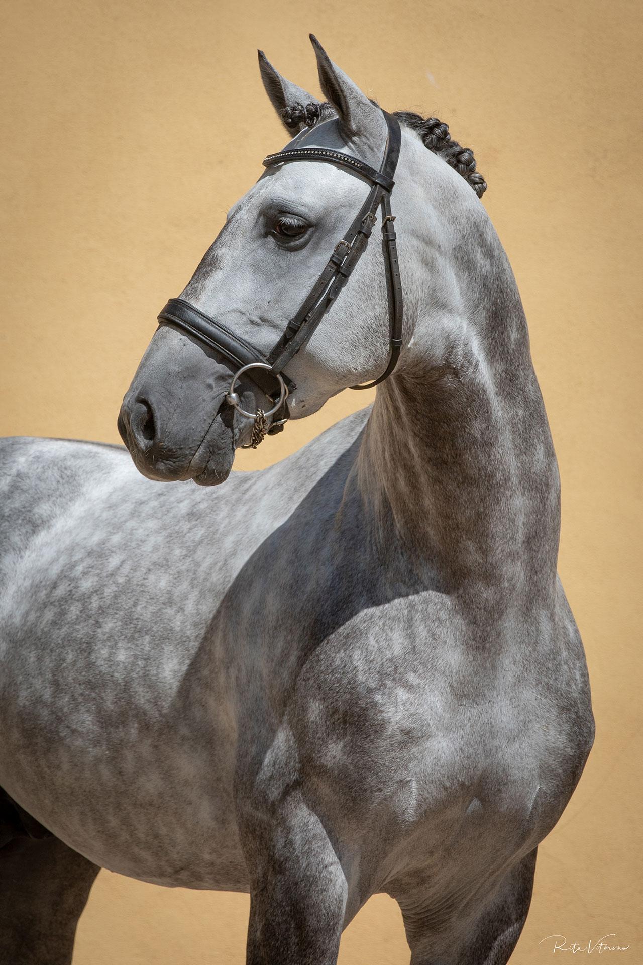 Sublime Lusitano – Golden medal winner