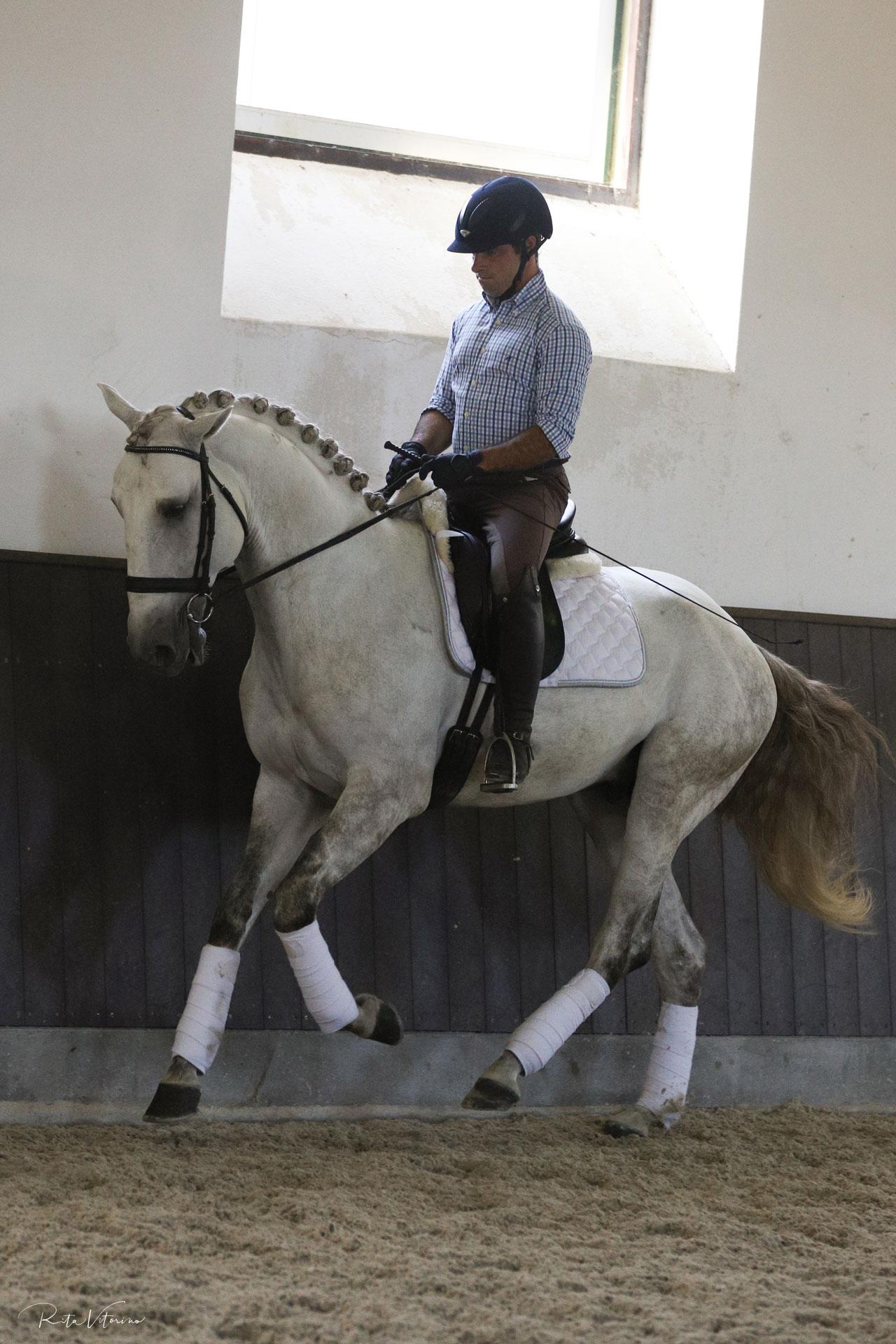 Gentle white charm Lusitano stallion