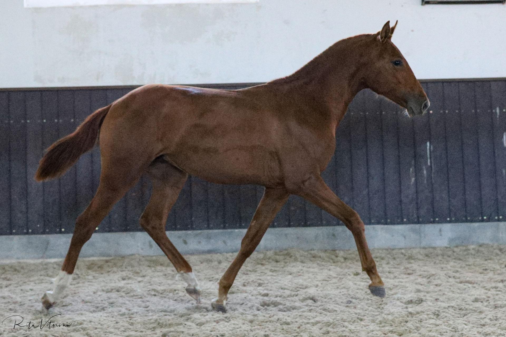 Splendid 1YO portuguese sport horse