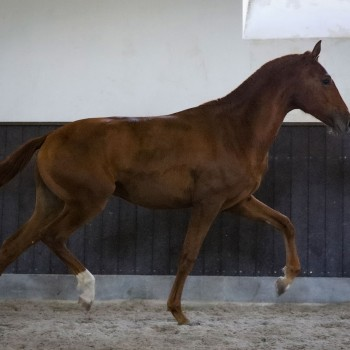 Lagoalva: Cavalos - 443 - Ozil
