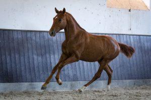 Lagoalva: Horses - 443 - Ozil