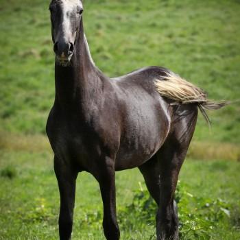 Lagoalva: Cavalos - 445 - Orlof