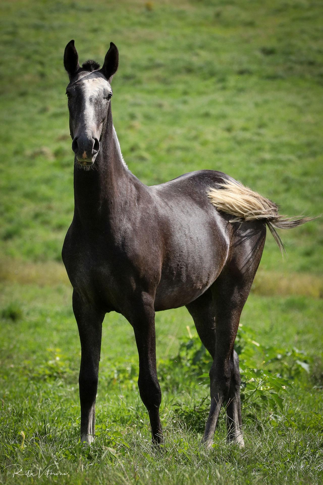 Piro free 1 YO colt with top genetics